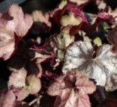 Silberglöckchen 'Silver Light', Heuchera x cultorum 'S