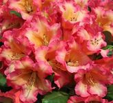 Ball-Rhododendron 'Lullaby'