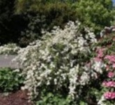 Kleine Prunkspiere 'The Bride', 30-40 cm, Exochorda mac